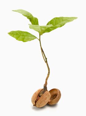 acorn to tree
